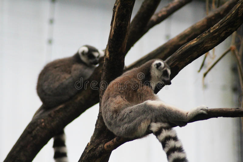 Download Ring tailed lemur resting stock photo. Image of lemur - 83705592