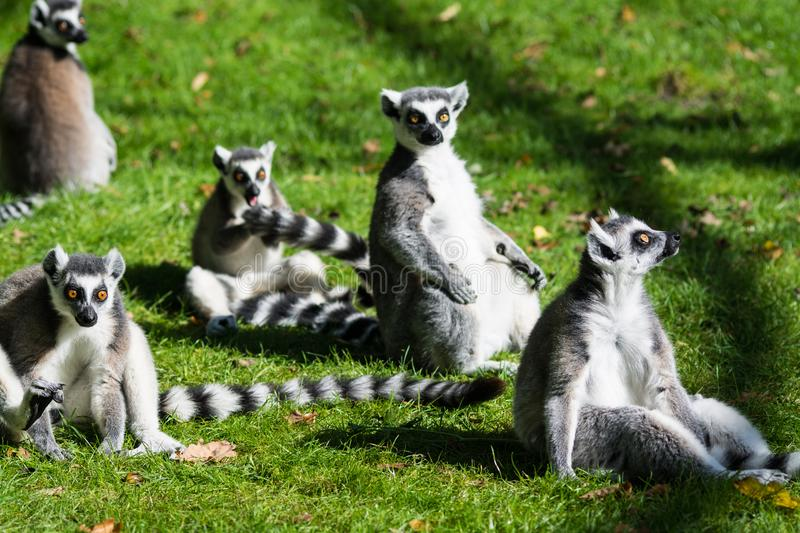 Ring-Tailed Lemur. The ring-tailed lemur Lemur catta is a large strepsirrhine primate and the most recognized lemur due to its long, black and white ringed tail stock photo