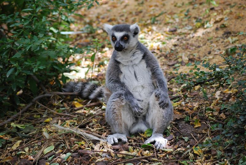 Ring-tailed lemur. Sitting with a fixed gaze. Marsupial, gray and white colors. zoo royalty free stock images