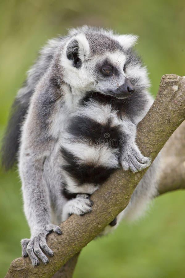 Ring Tailed Lemur stock photos