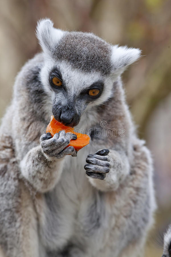 Ring Tailed Lemur. A single Ring Tailed Lemur eating some fruit royalty free stock photography