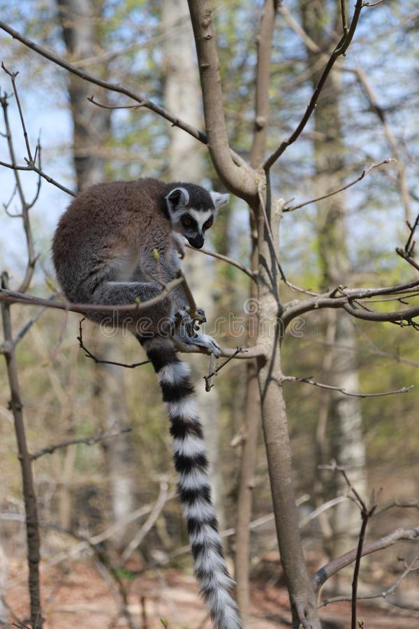 Ring-tailed lemur sits alone in a tree royalty free stock photos