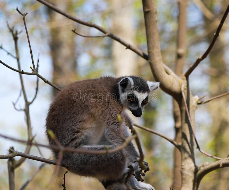 Ring-tailed lemur sits alone in a tree stock photos
