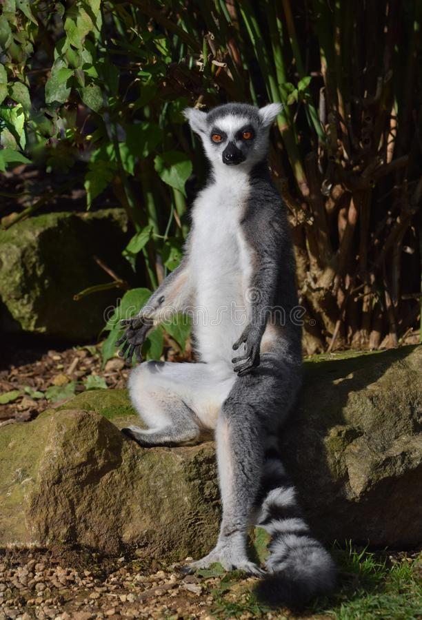 Ring tailed lemur sitting in a yoga type pose. A ring tailed lemur sits on a rock in a yoga like pose royalty free stock photo