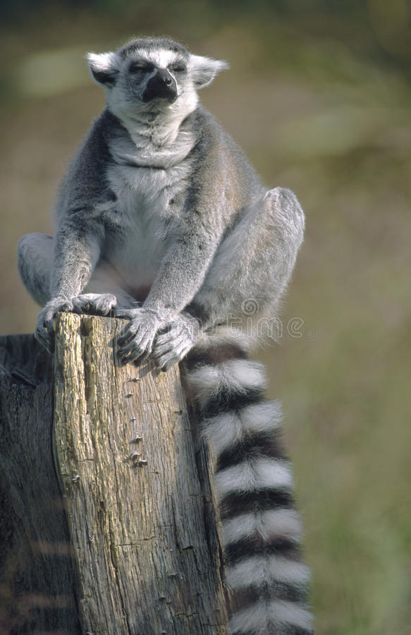 Download Ring-tailed Lemur Sitting With Eyes Closed Stock Image - Image: 23299891