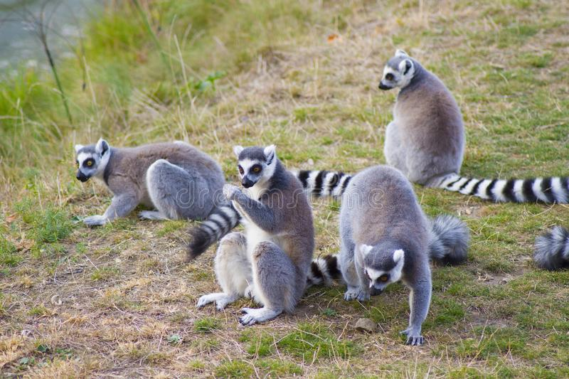 Ring-tailed lemur. Lemur sitting in a grass royalty free stock photo