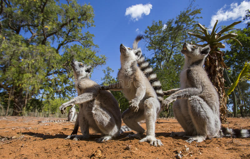 Ring-tailed lemur sitting on the ground. Madagascar. stock images