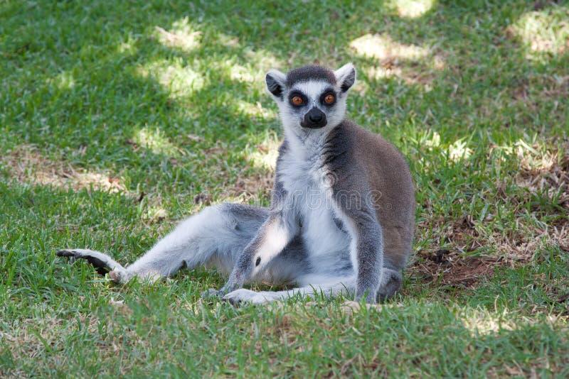 Ring Tailed Lemur Sitting in het gras stock foto's