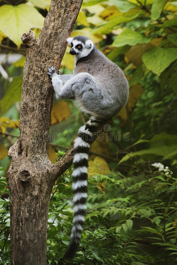 Free Ring-tailed Lemur Sitting In Tree Royalty Free Stock Images - 1130579