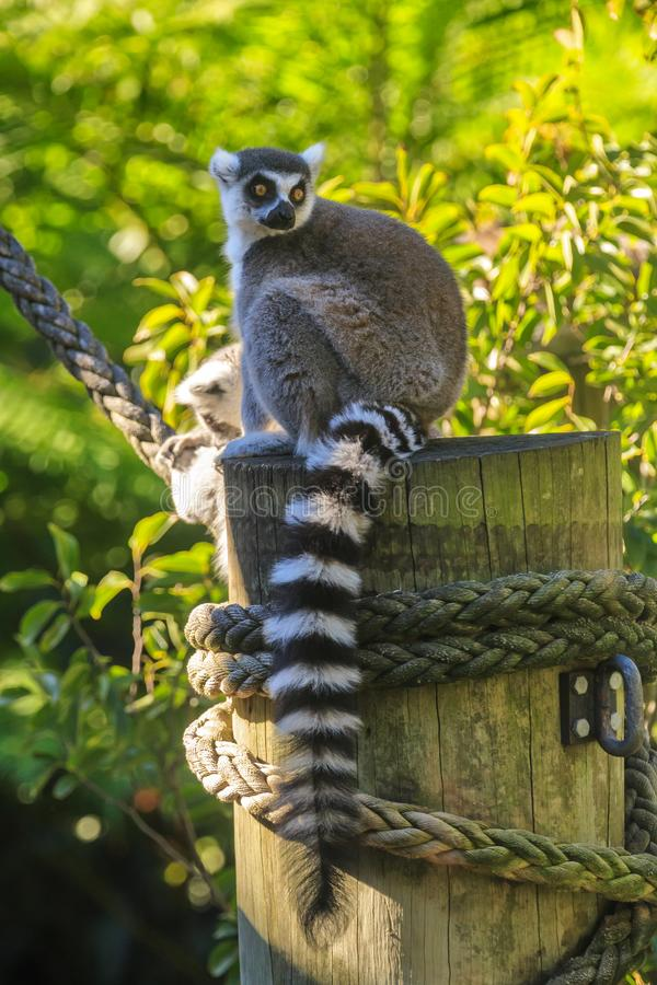Ring-tailed lemur sitting on a post in a zoo. The ring-tailed lemur, Lemur catta, is a primate native to Madagascar.  This individual lives in a zoo in Sydney stock images