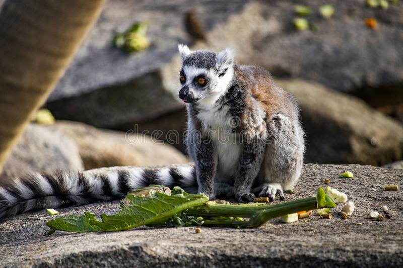 Ring-tailed lemur sitting on a rock eating some food royalty free stock image