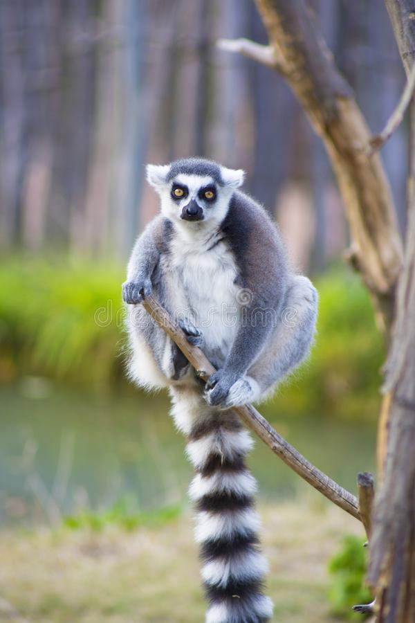 Ring-tailed lemur. Lemur sitting in a tree stock photos
