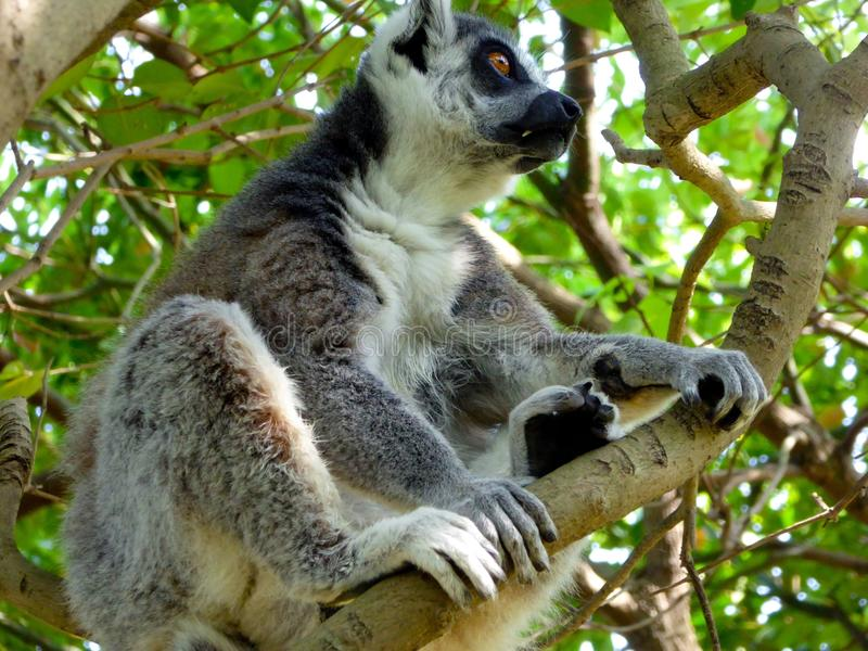 A Ring-tailed Lemur sitting on a tree stock photos
