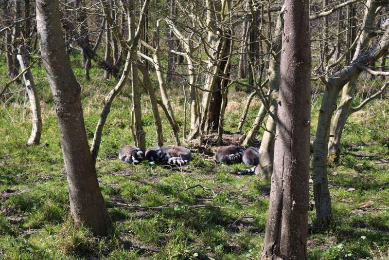 The Ring Tailed Lemur sleeping. stock image