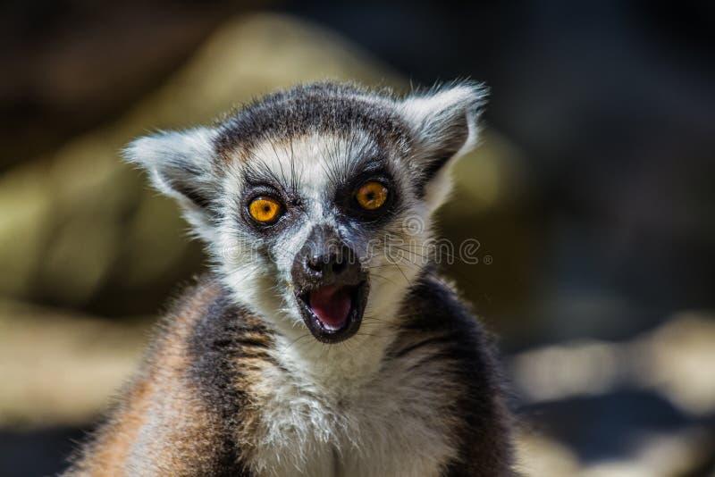 Ring Tailed Lemur sorprendido imagen de archivo libre de regalías