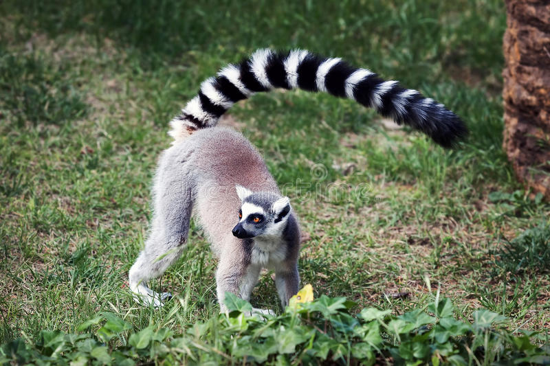 The ring-tailed lemur. Lemur from ring tail, in the forest. Big eyes with vibrant color and classic long-sleeved white-black rings royalty free stock photo