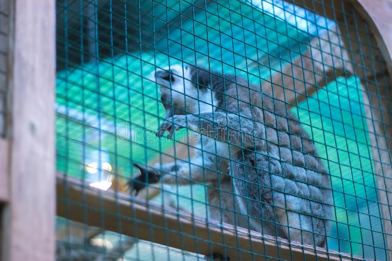 A ring tailed lemur try to prove stock photo