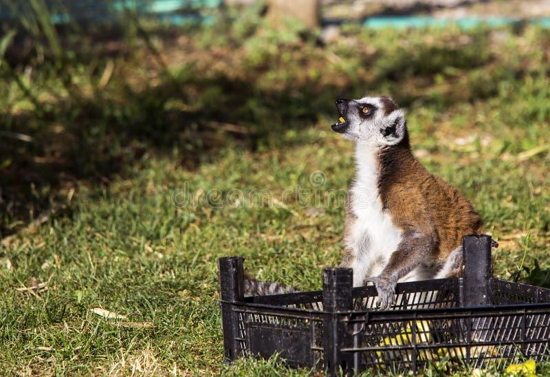 Ring tailed lemuren royaltyfri fotografi