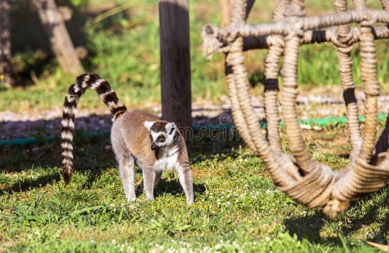 Ring tailed lemuren royaltyfri bild
