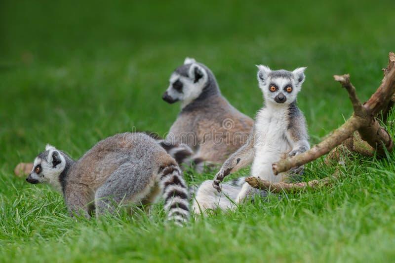 Ring Tailed Lemurs photo libre de droits