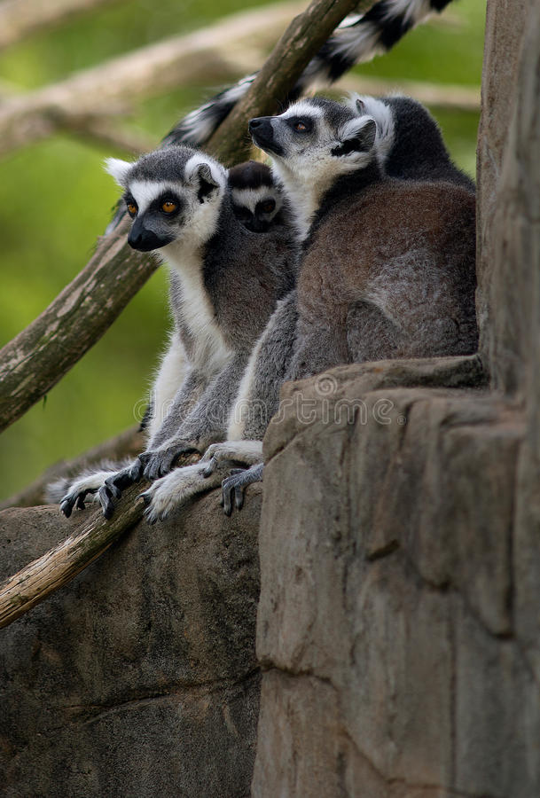 Ring Tailed Lemurs image libre de droits