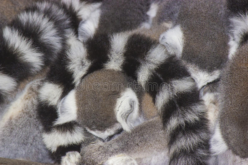 Ring-tailed Lemurs stockbild