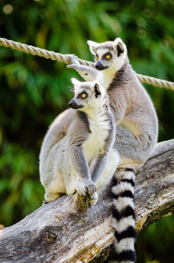 Ring-Tailed Lemurs royalty free stock photos