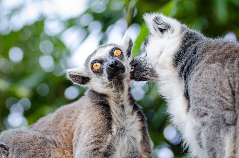 Ring-tailed Lemurs Free Public Domain Cc0 Image