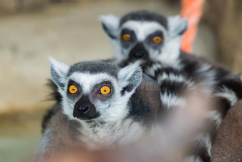 Ring-Tailed Lemurs closeup portrait, a large gray primate with golden eyes royalty free stock photos