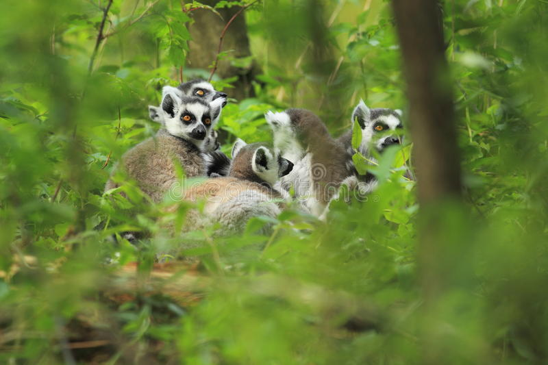 Ring-tailed lemurs. The group of ring-tailed lemurs sitting in the forest royalty free stock photography
