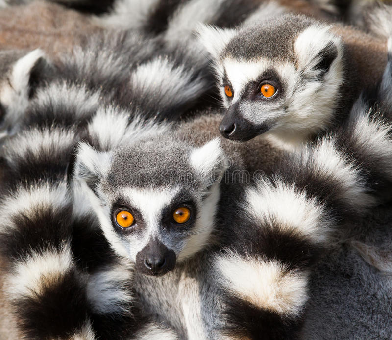 Ring-tailed lemurs (Lemur catta) huddle together. On a cold autumn morning to stay warm royalty free stock images