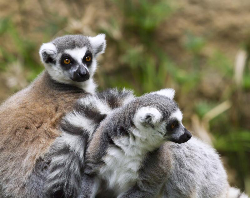 Ring-tailed lemurs resting. Ring-tailed lemurs Lemur catta from Madagascar stock photos