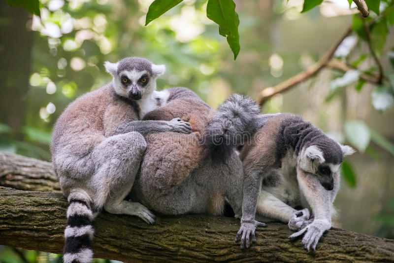 Ring-tailed lemurs sitting on the tree branch stock photo