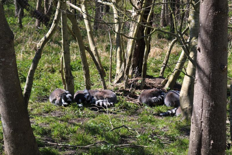 The Ring Tailed Lemur sleeping. The ring tailed lemurs sleeping in the sun on grass stock images