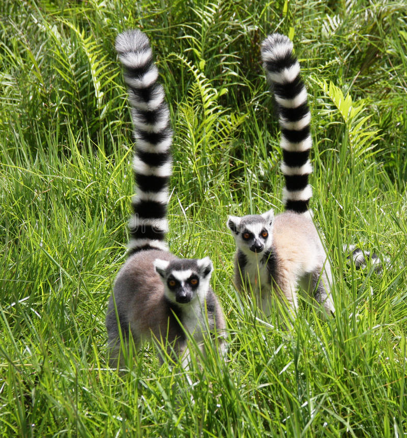 Ring-tailed Lemurs stock photography