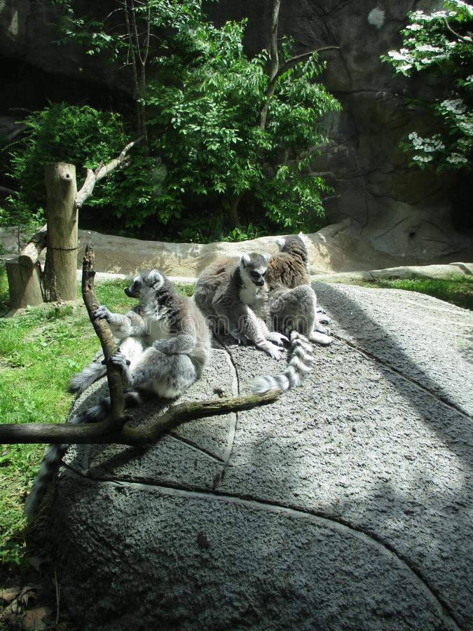 Ring Tailed lemurs. At zoo royalty free stock images