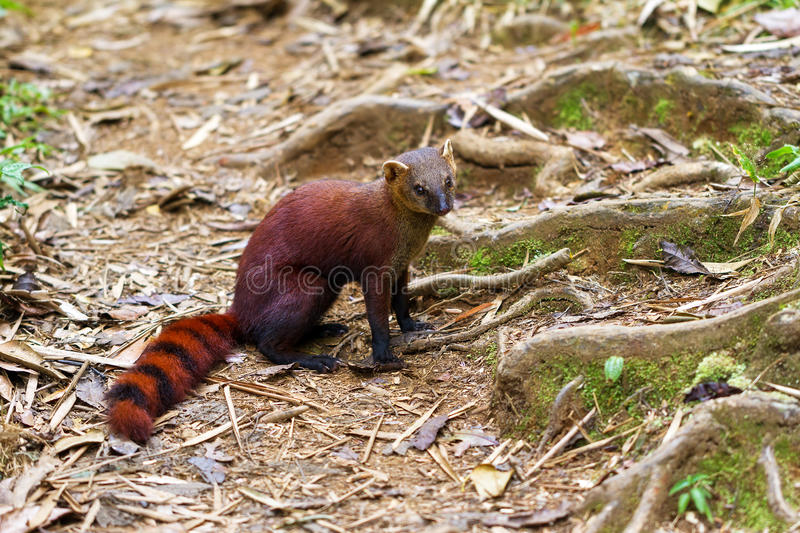 The ring-tailed mongoose stock image