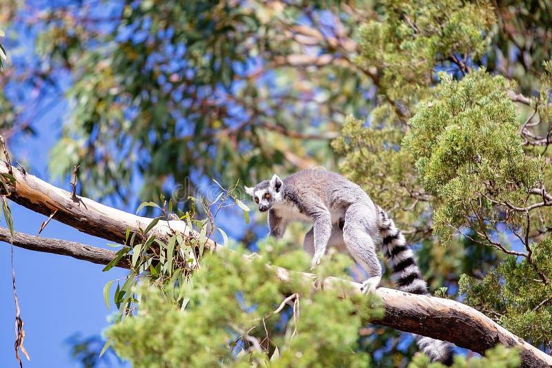 Ring Tailed Monkey mignon photographie stock libre de droits