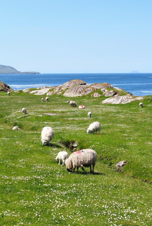 Ring van Kerry sheeps royalty-vrije stock afbeelding