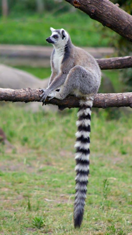 Ringa-tailed lemur royaltyfria foton