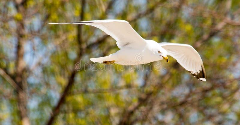Ringbilled Seagull på stationsstranden arkivbild