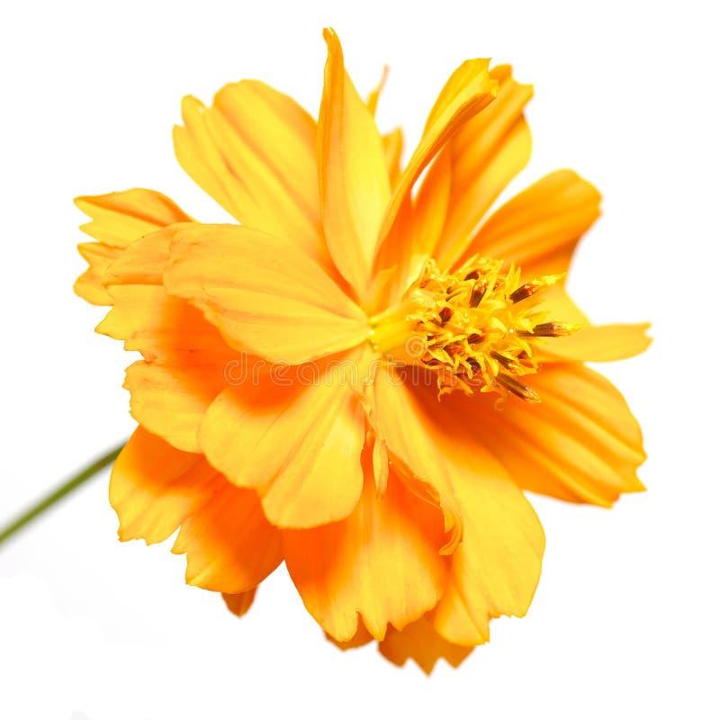 Ringblomma. härlig orange blomma royaltyfri fotografi
