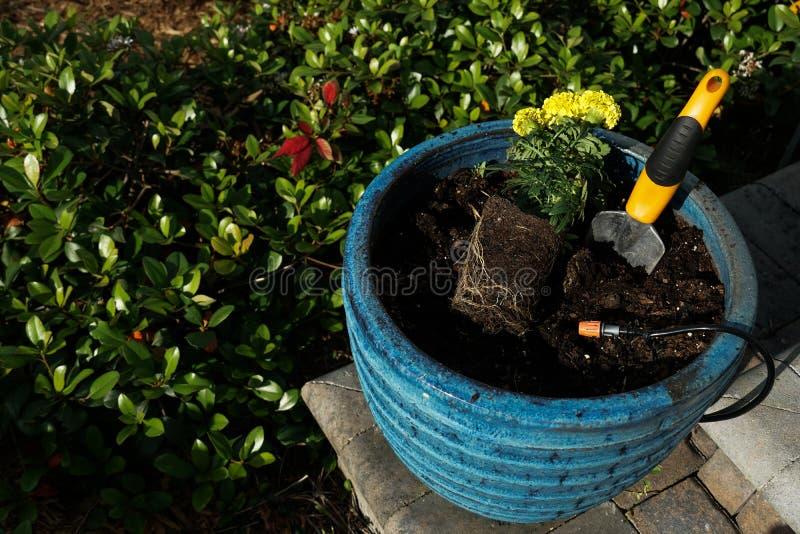 Ringblommablomma som planterar i en stor blå kruka fotografering för bildbyråer