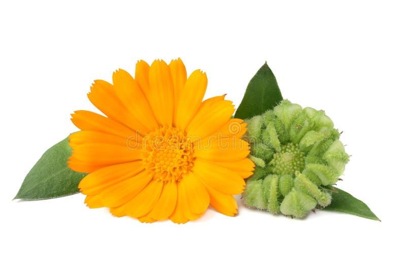 ringblomman blommar med det gröna bladet som isoleras på vit bakgrund för tät soligt övre dagblomma för calendula royaltyfri bild