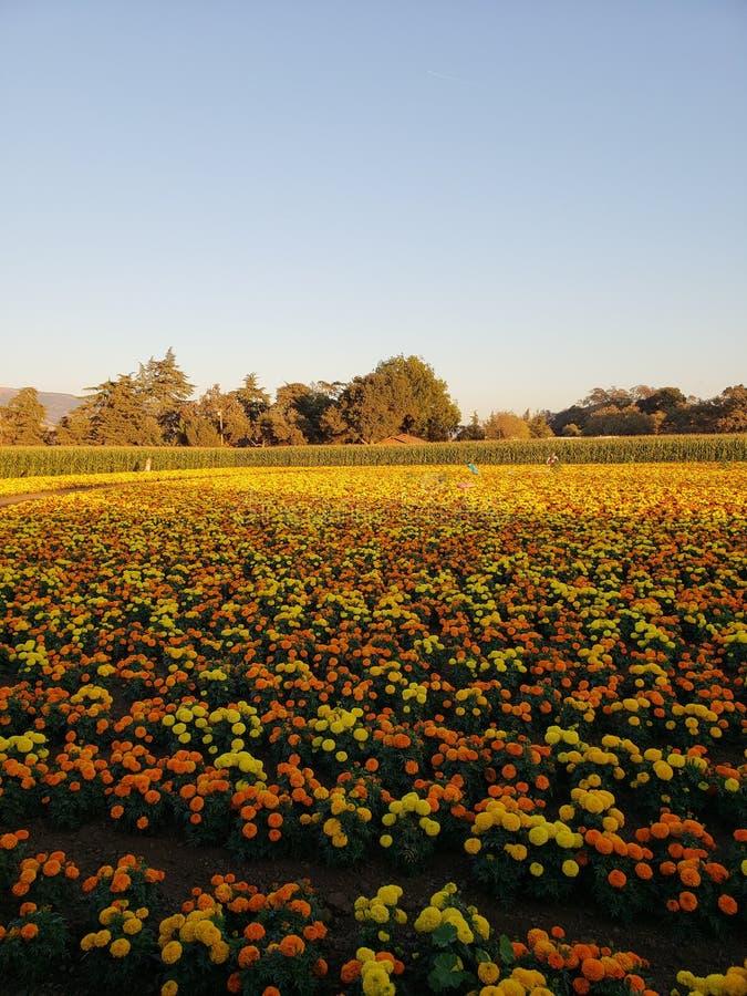 Ringblommaväxter royaltyfri fotografi