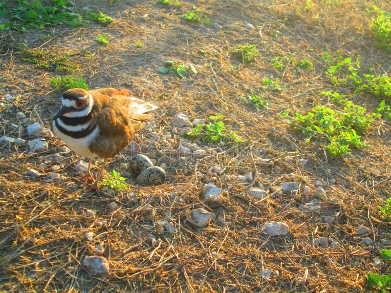 Ringed να τοποθετηθεί πουλιών βροχοπουλιών αυγά στοκ εικόνες
