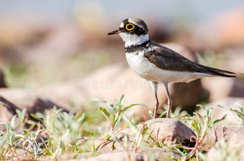 Ringed brockfågel - fåglar arkivfoto