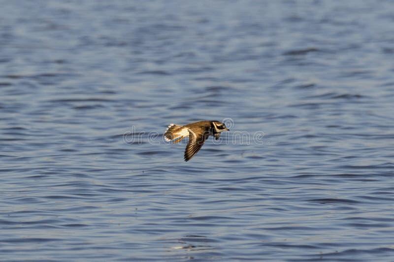 Ringed brockfågelflyg royaltyfria bilder
