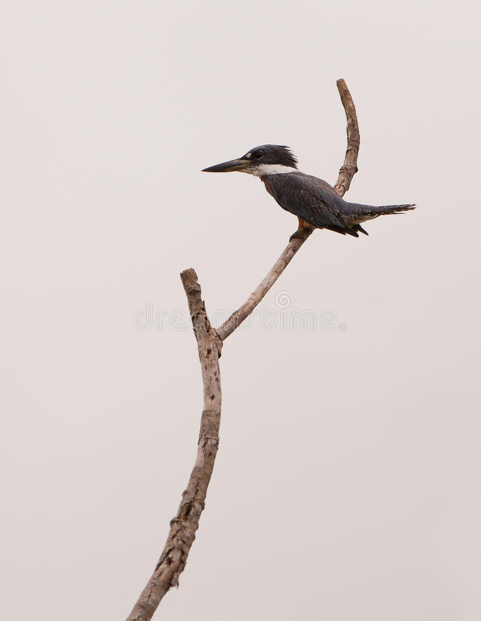 Ringed Kingfisher on branch