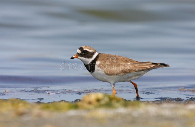 Ringed plover. (charadrius hiaticula) searching for food in water stock photography